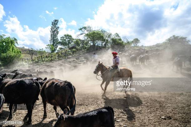 teenage argentine gaucho herding cattle in dusty corral - cordoba argentina stock pictures, royalty-free photos & images