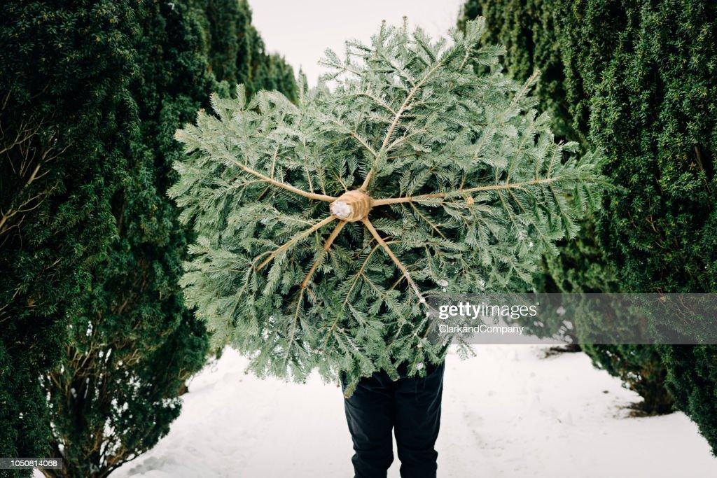 Teenage boy carrying a Christmas tree home. : Stock Photo