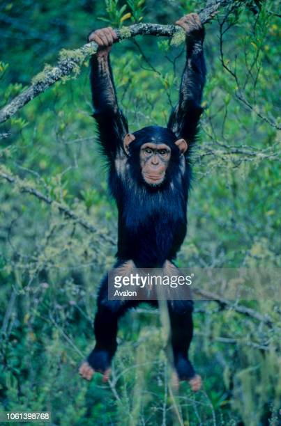 Teenage Chimpanzee swinging through the trees at sanctuary in Kenya Date 250608