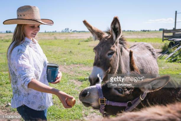 teenage girl feeding donkeys on ranch - 家畜 ストックフォトと画像