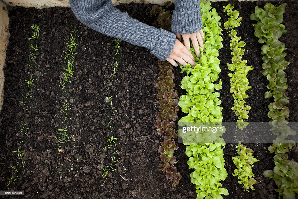 Teenage girl planting seedlings : Stock Photo