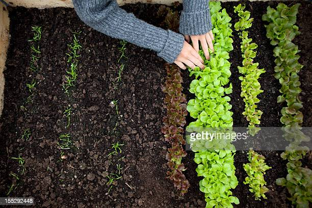 teenage girl planting seedlings - lettuce stock pictures, royalty-free photos & images