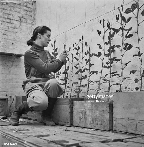 Teenage girl training plants up a wire trellis in the garden of a country house in the UK during World War II, May 1941.