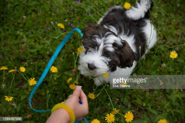 teenager offering treat as an incentive to puppy whilst obedience training in a back yard - training grounds ストックフォトと画像
