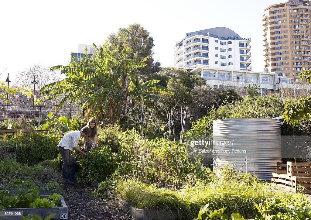 Teens working in an urban community Garden : Stock Photo