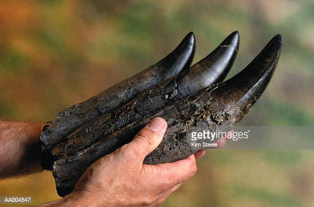 teeth of a tyrannosaurus rex fossil - t rex stock photos and pictures