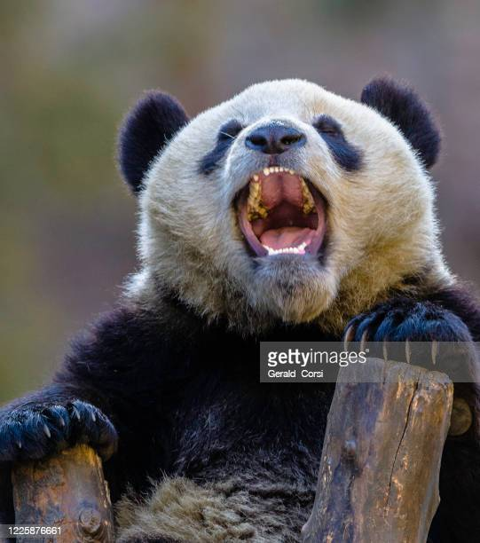 teeth of the giant panda; ailuropoda melanoleuca; wolong nature preserve; china; family ursidae - giant panda stock pictures, royalty-free photos & images