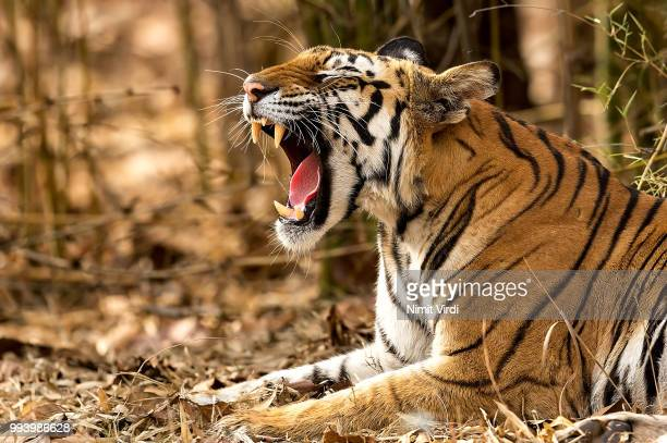 teeth, tongue, whiskers & fur... - bengal tiger stock pictures, royalty-free photos & images