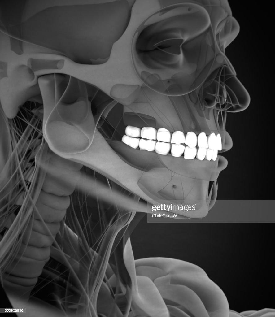 Teeth Xray Human Anatomy Dental 3d Illustration Stock Photo Getty