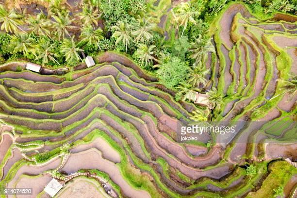 tegalalang rice terrace at ubud bali - reisterrasse stock-fotos und bilder
