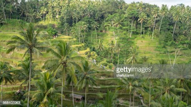 tegalalang rice terrace - shaifulzamri stock pictures, royalty-free photos & images
