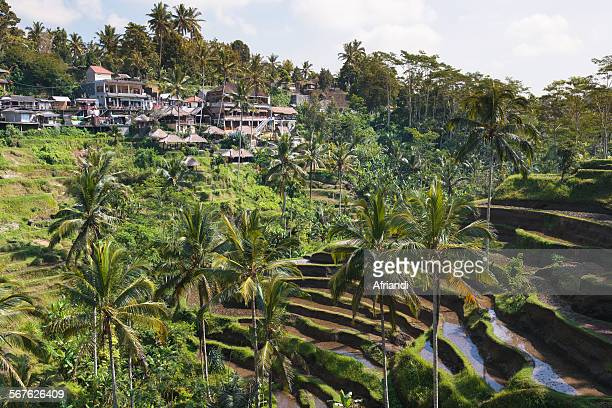 tegalalang terrace rice fields, bali - reisterrasse stock-fotos und bilder