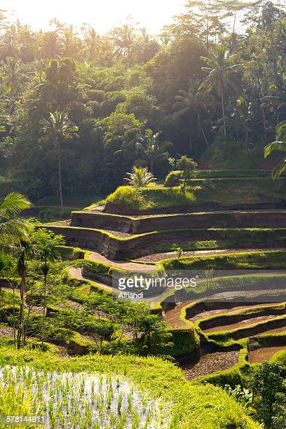 tegalalang terrace rice fields, bali - ubud district stock pictures, royalty-free photos & images