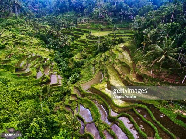 tegalialang rice terraces in bali, indonesia - terrassenfeld stock-fotos und bilder