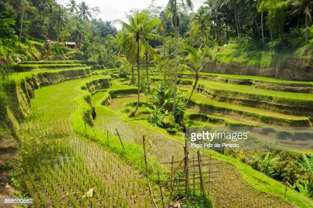Tegallalang rice terrace - Tegallalang - Ubud - Bali- Indonesia