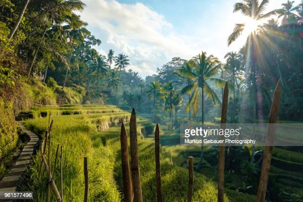 tegallalang rice terraces at sunrise, bali, indonesia - rice terrace stockfoto's en -beelden