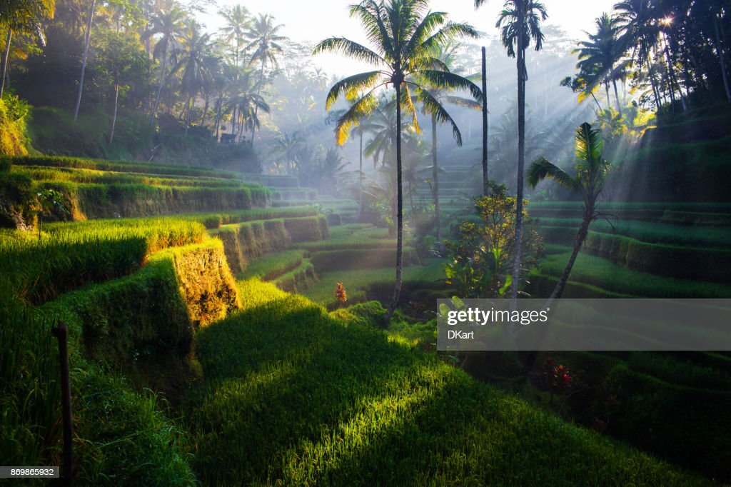 Tegallalang Rice terraces at sunrise : Stock Photo