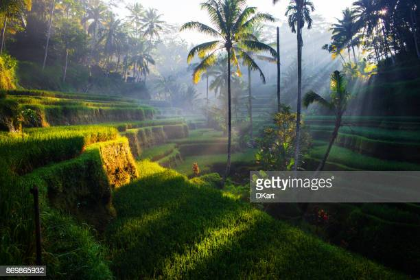 tegallalang rice terraces at sunrise - south east asia stock pictures, royalty-free photos & images
