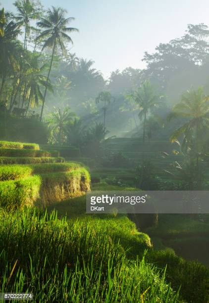 tegallalang rice terraces at sunrise - tegallalang stock photos and pictures