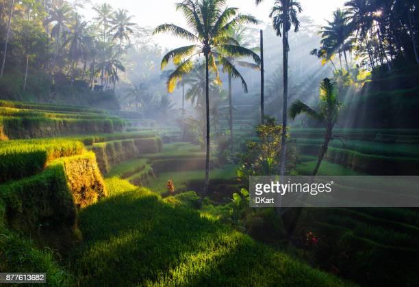 terrasses de tegallalang rice au lever du soleil - exotisme photos et images de collection