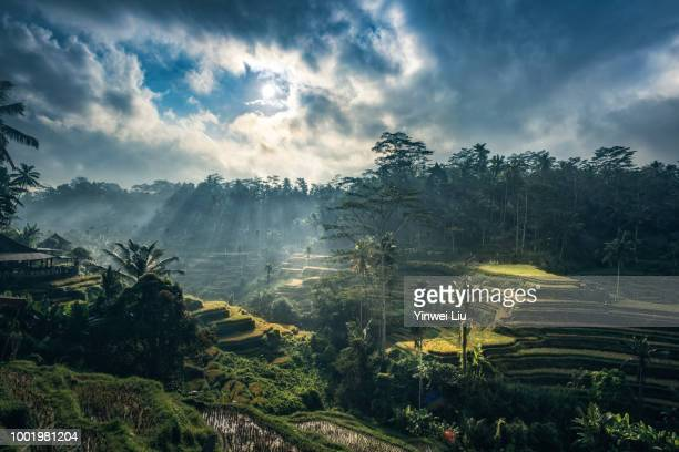 tegallalang rice terraces, bali, indonesia - indonesien stock-fotos und bilder