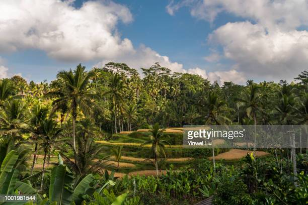 tegallalang rice terraces, bali, indonesia - terraced field stock pictures, royalty-free photos & images