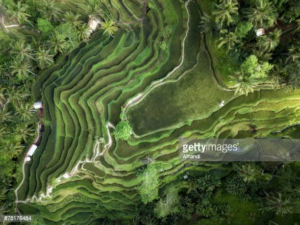 tegallalang rice terraces, bali, indonesia - tegallalang stock photos and pictures