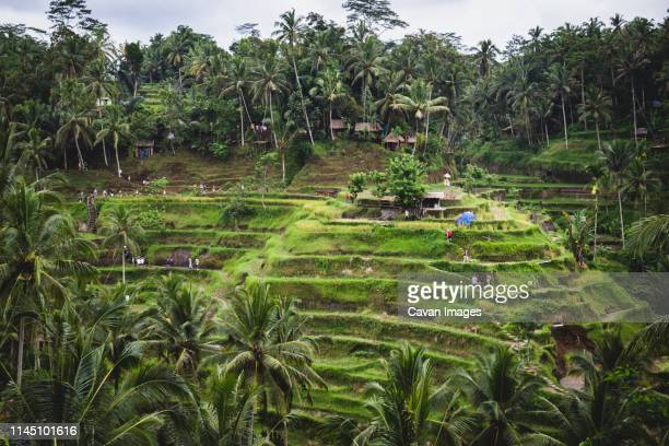 tegallalang rice terraces in bali, indonesia - tegallalang stock photos and pictures
