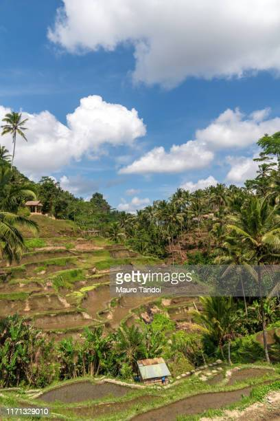 tegallalang rice terraces in ubud, bali - mauro tandoi stock photos and pictures