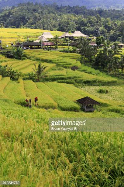 tegallalang rice terraces near tegallalang village near ubud.indonesia - rice terrace stockfoto's en -beelden