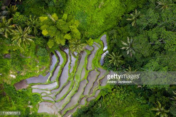 tegallalang rice terraces on bali - rice terrace stock pictures, royalty-free photos & images