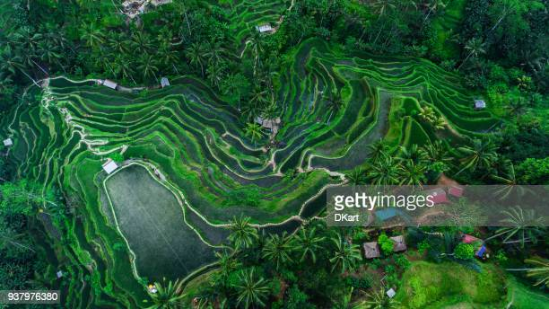 tegallalang rice terraces - paddy field stock pictures, royalty-free photos & images