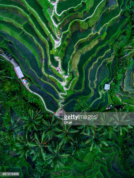 tegallalang rice terraces - bali stock pictures, royalty-free photos & images