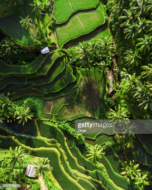 tegallalang rice terraces - rice terrace stockfoto's en -beelden