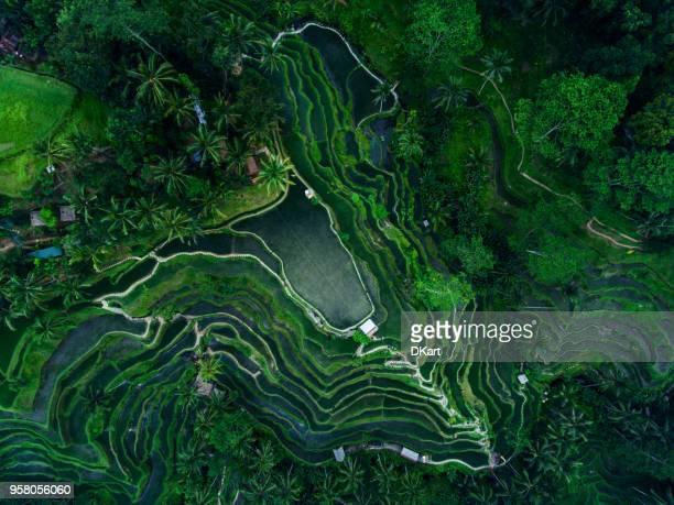 tegallalang rice terrassen - reisterrasse stock-fotos und bilder