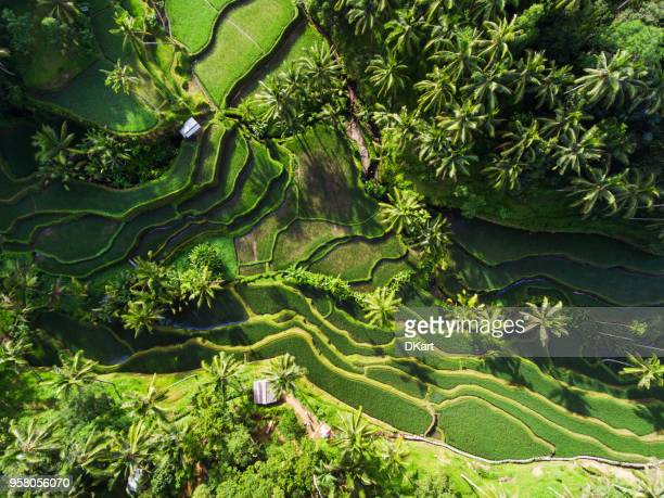tegallalang rice terraces - indonesia photos stock photos and pictures