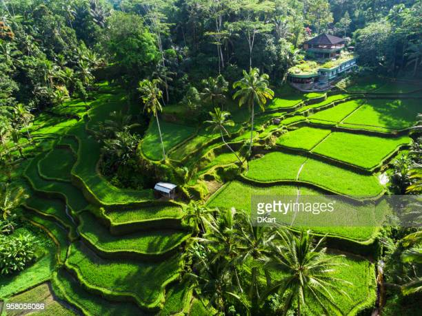 tegallalang rice terraces - tegallalang stock photos and pictures