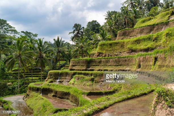 tegallalang rise terraces in ubud, bali island, indonesia - mauro tandoi stock pictures, royalty-free photos & images