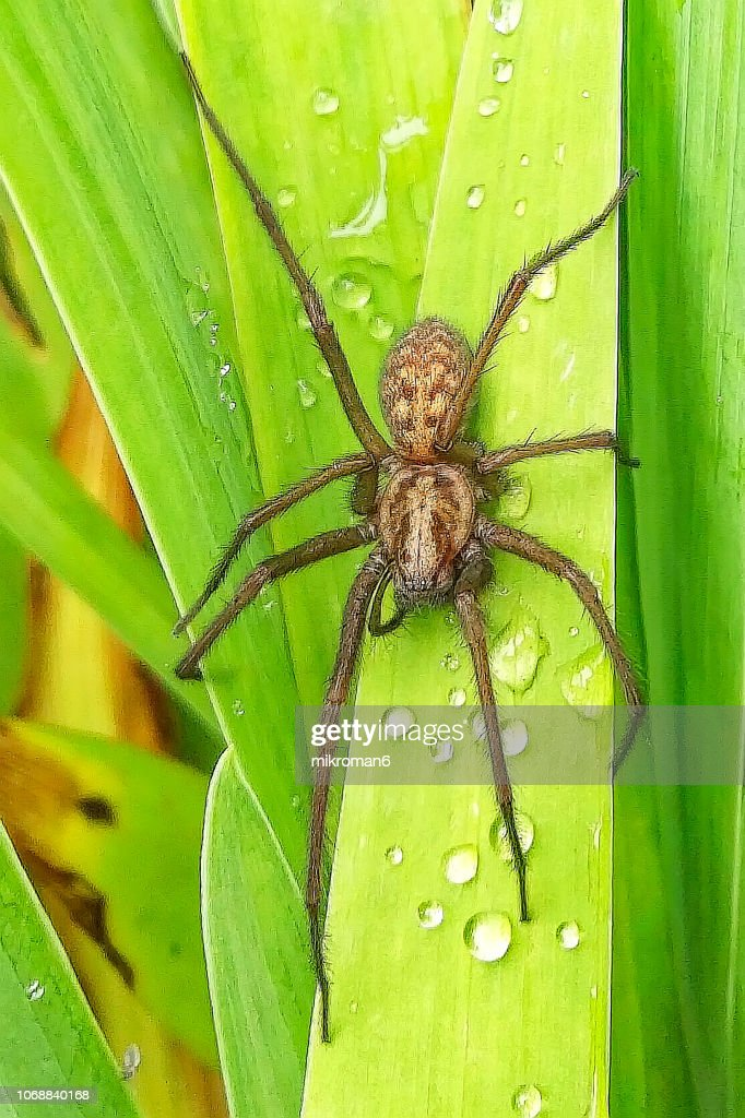 Tegenaria Domestica Domestic House Spider In Garden Stock ...
