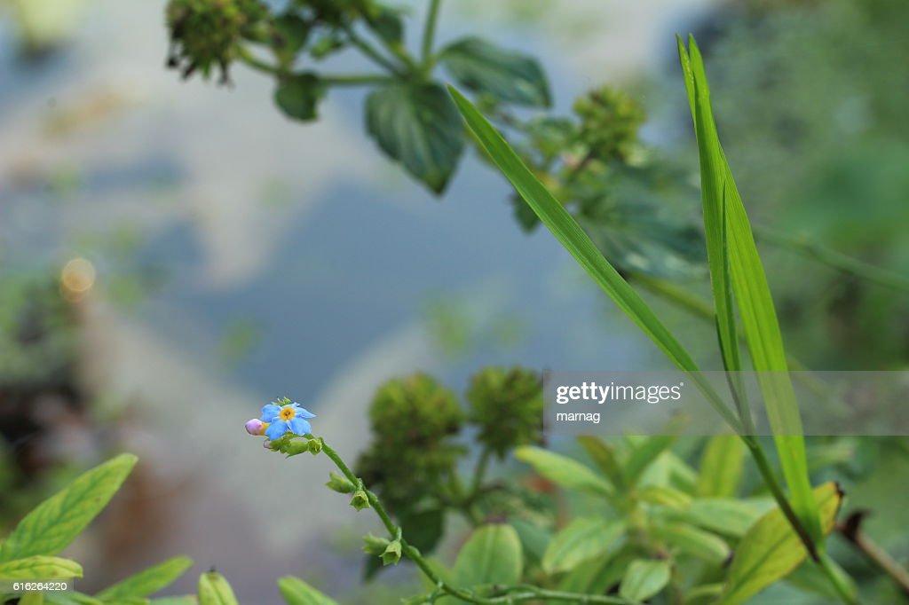 Teichpflanzen : Stock Photo