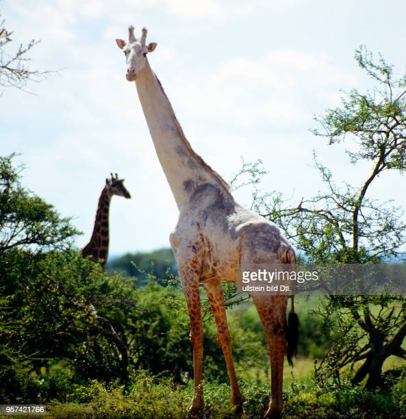 Teilalbinotischer Giraffenbulle in der Savanne des Serengeti Nationaparks ein seltener Anblick