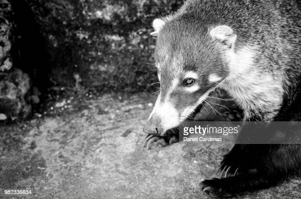 tejon badger 2 - american badger stock photos and pictures
