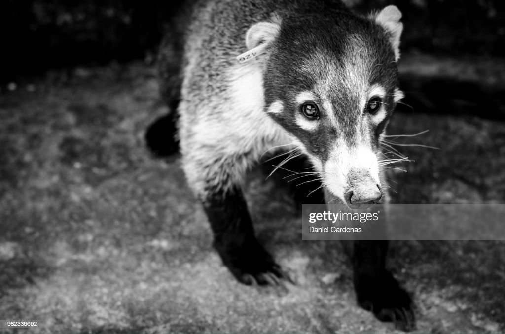 Tejon Badger Stock Photo - Getty Images