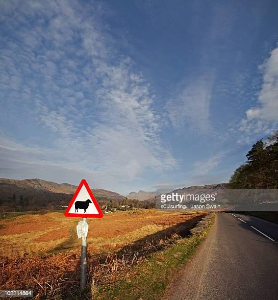tek care sheeps ont road - s0ulsurfing stockfoto's en -beelden