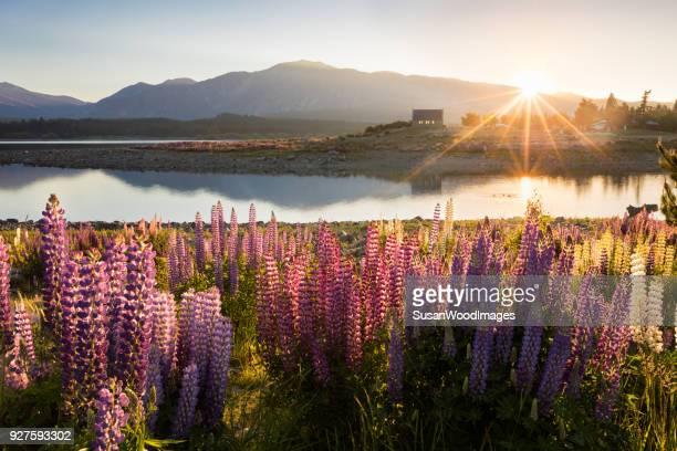 Tekapo starburst sunrise with lupins and church, New Zealand