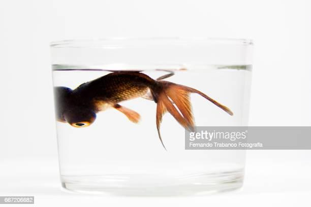 Telescopic goldfish fish or Black moor Swimming in a vase glass