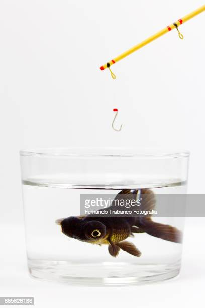 Telescopic goldfish or Black moor And fishing rod. Danger!