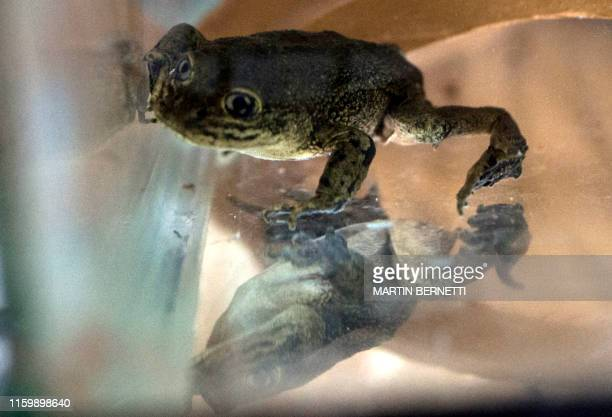 A Telmatobius dankoi endemic to the Loa River is seen in a special pond at the Metropolitan Zoo in Santiago on August 05 2019 Loa River frogS were...