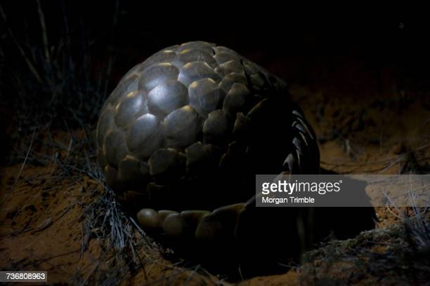 temmincks ground pangolin, smutsia temminckii, at night, kalahari desert, northern cape, south africa - pangolin fotografías e imágenes de stock