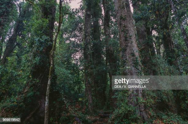 Temperate rainforest in the Puyehue National Park Los Lagos Region Chile